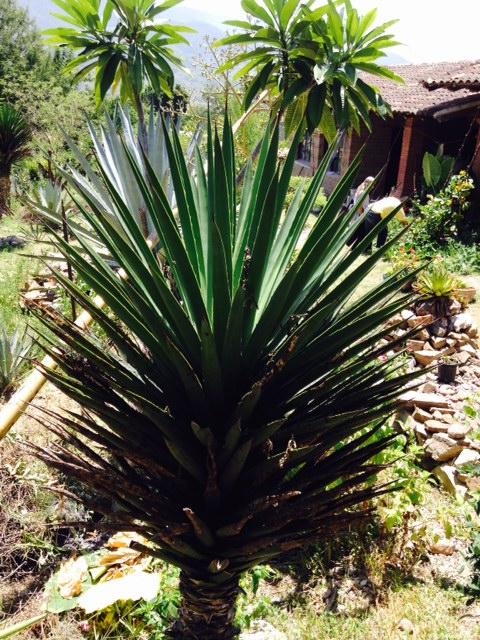 agave barril